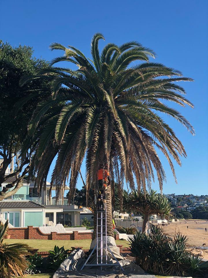 Arborist Tree Pruning Auckland